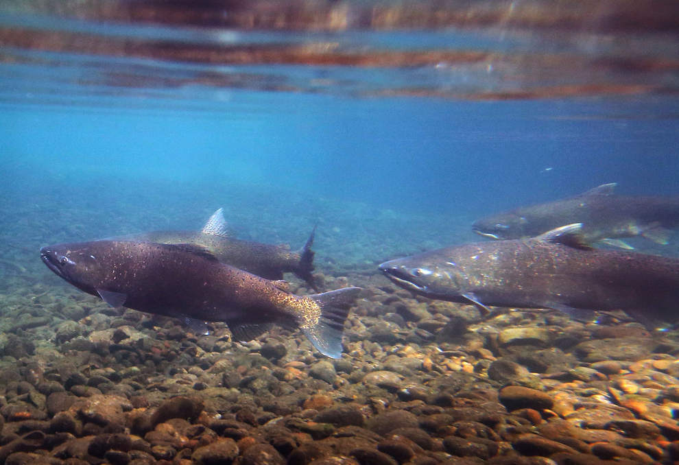 Chinook Salmon at Carmen Smith Spawning Channel (Photo by Chris Pietsch/The Register-Guard)